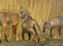 corsac-fox-2518-hamerton-copyright-photographers-on-safari-com