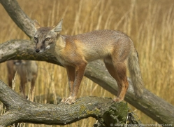 corsac-fox-2519-hamerton-copyright-photographers-on-safari-com