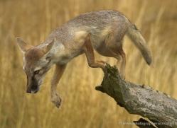 corsac-fox-2522-hamerton-copyright-photographers-on-safari-com