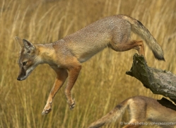 corsac-fox-2523-hamerton-copyright-photographers-on-safari-com
