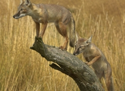 corsac-fox-2524-hamerton-copyright-photographers-on-safari-com