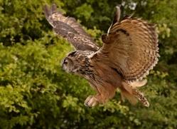 eagle-owl-2533-hamerton-copyright-photographers-on-safari-com