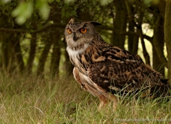 eagle-owl-2534-hamerton-copyright-photographers-on-safari-com