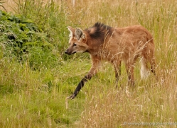 red-maned-wolf-2535-hamerton-copyright-photographers-on-safari-com