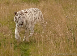 white-tiger-wolf-2539-hamerton-copyright-photographers-on-safari-com