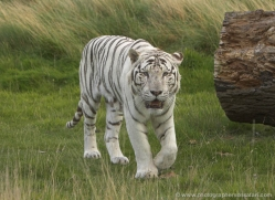 white-tiger-wolf-2541-hamerton-copyright-photographers-on-safari-com