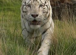 white-tiger-wolf-2543-hamerton-copyright-photographers-on-safari-com