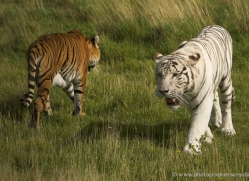 white-tiger-wolf-2545-hamerton-copyright-photographers-on-safari-com