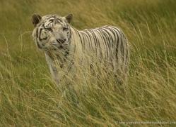 white-tiger-wolf-2549-hamerton-copyright-photographers-on-safari-com