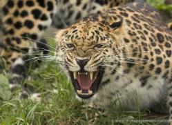 amur-leopard3018-hertfordshire-copyright-photographers-on-safari-com