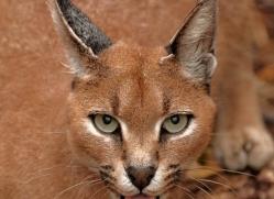 caracal-2981-hertfordshire-copyright-photographers-on-safari-com