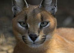 caracal-2987-hertfordshire-copyright-photographers-on-safari-com