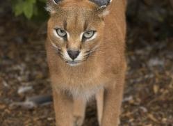 caracal-2991-hertfordshire-copyright-photographers-on-safari-com
