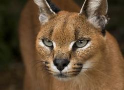 caracal-2993-hertfordshire-copyright-photographers-on-safari-com