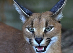 caracal-3019-hertfordshire-copyright-photographers-on-safari-com