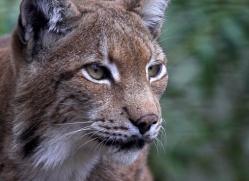 lynx-3023-hertfordshire-copyright-photographers-on-safari-com