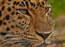 Amur Leopard 2014-1copyright-photographers-on-safari-com