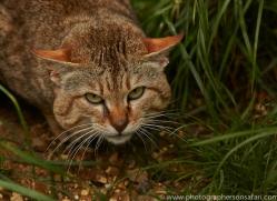Asian Wildcat 2014-1copyright-photographers-on-safari-com