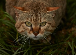 Asian Wildcat 2014-4copyright-photographers-on-safari-com