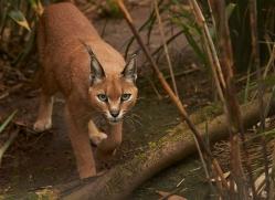 Caracal 2014-1copyright-photographers-on-safari-com