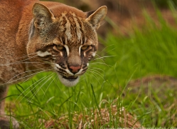 Golden Cat 2014-1copyright-photographers-on-safari-com