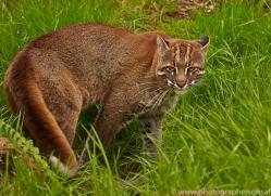 Golden Cat 2014-2copyright-photographers-on-safari-com