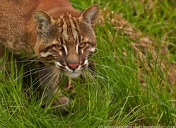 Golden Cat 2014-3copyright-photographers-on-safari-com