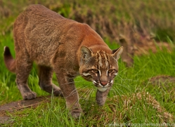 Golden Cat 2014-4copyright-photographers-on-safari-com
