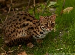 Leopard Cat 2014-1copyright-photographers-on-safari-com