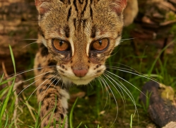 Leopard Cat 2014-2copyright-photographers-on-safari-com