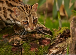 Leopard Cat 2014-3copyright-photographers-on-safari-com