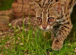 Leopard Cat 2014-4copyright-photographers-on-safari-com