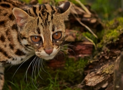 Leopard Cat 2014-6copyright-photographers-on-safari-com