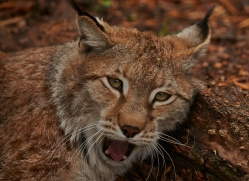 Lynx 2014-11copyright-photographers-on-safari-com
