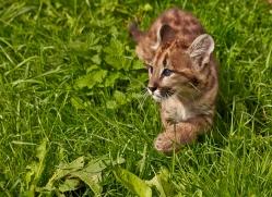 Puma 2014-4copyright-photographers-on-safari-com