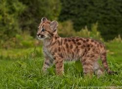 Puma 2014-5copyright-photographers-on-safari-com