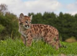 Puma 2014-6copyright-photographers-on-safari-com