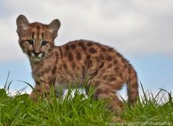 Puma 2014-7copyright-photographers-on-safari-com