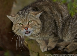 Scottish Wildcat 2014-1copyright-photographers-on-safari-com