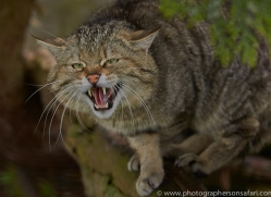 Scottish Wildcat 2014-2copyright-photographers-on-safari-com