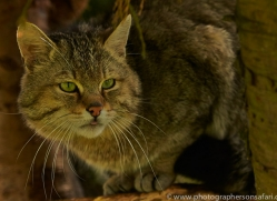 Scottish Wildcat 2014-3copyright-photographers-on-safari-com