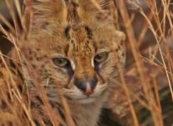 Serval 2014-11copyright-photographers-on-safari-com
