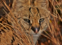 Serval 2014-12copyright-photographers-on-safari-com