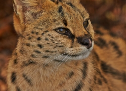 Serval 2014-13copyright-photographers-on-safari-com