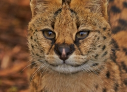 Serval 2014-14copyright-photographers-on-safari-com