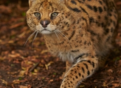 Serval 2014-15copyright-photographers-on-safari-com