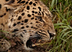 amur-leopard3011-hertfordshire-copyright-photographers-on-safari-com