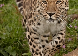 amur-leopard3012-hertfordshire-copyright-photographers-on-safari-com