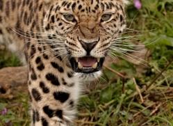 amur-leopard3013-hertfordshire-copyright-photographers-on-safari-com