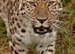 amur-leopard3015-hertfordshire-copyright-photographers-on-safari-com
